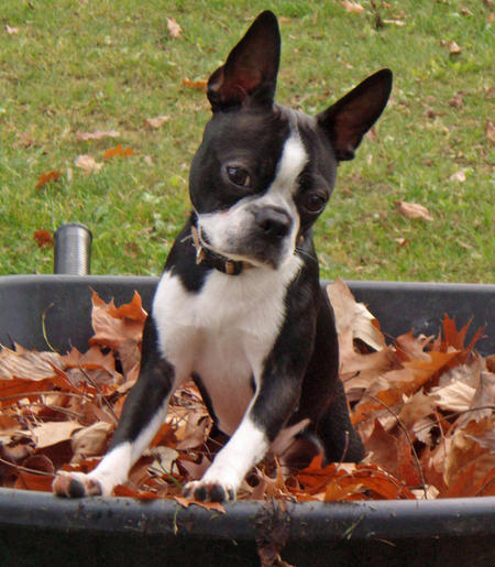 Diego the Boston Terrier Pictures 160788