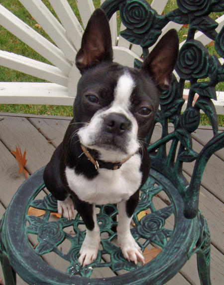 Diego the Boston Terrier Pictures 160785