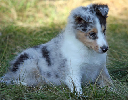Barkley the Shetland Sheepdog Pictures 161168