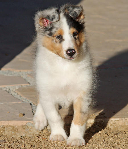 Barkley the Shetland Sheepdog Pictures 161166