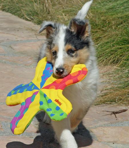 Barkley the Shetland Sheepdog Pictures 161164