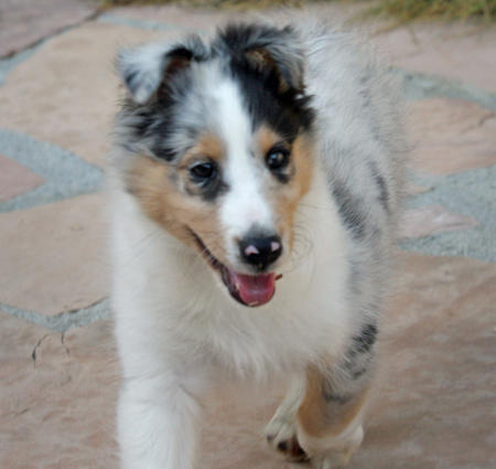 Barkley the Shetland Sheepdog Pictures 161163
