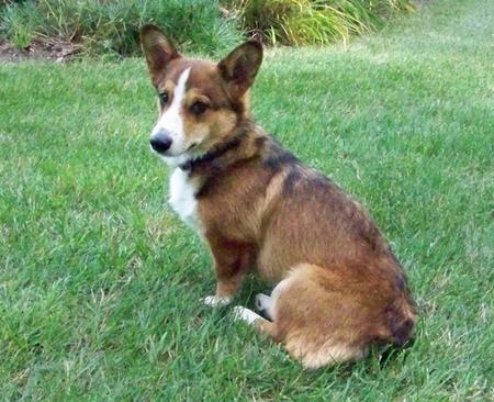 Bobby the Pembroke Welsh Corgi  Pictures 161585
