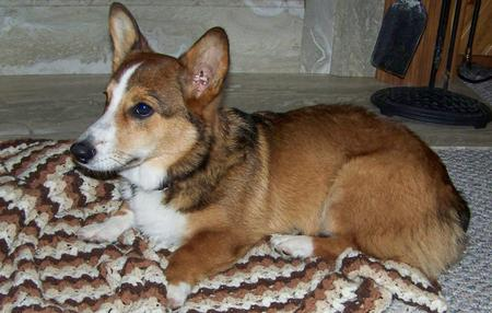 Bobby the Pembroke Welsh Corgi  Pictures 161587