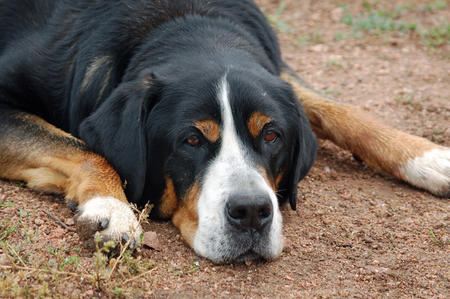 Gracie the Greater Swiss Mountain Dog Pictures 289546