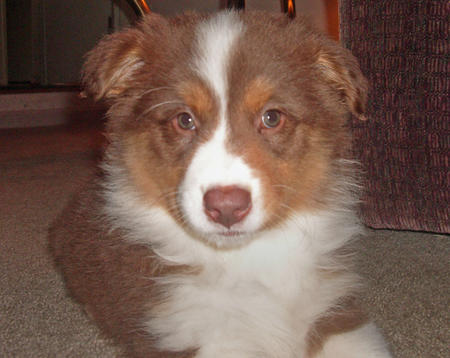 Riley the Australian Shepherd Pictures 161740