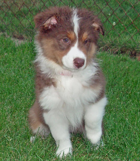 Riley the Australian Shepherd Pictures 161739