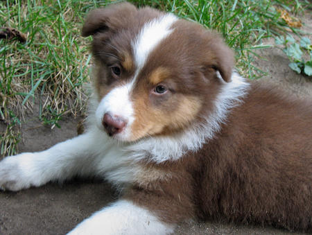 Riley the Australian Shepherd Pictures 161742