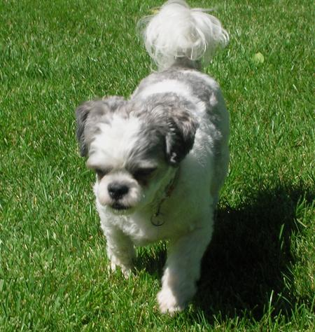 Weebo the Bichon Frise Mix Pictures 162087
