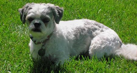 Weebo the Bichon Frise Mix Pictures 162084