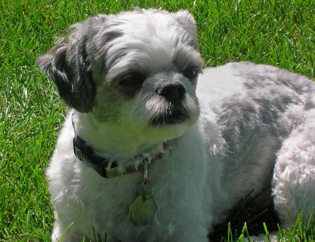 Weebo the Bichon Frise Mix Pictures 162083