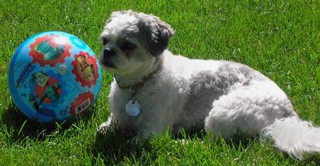 Weebo the Bichon Frise Mix Pictures 162086