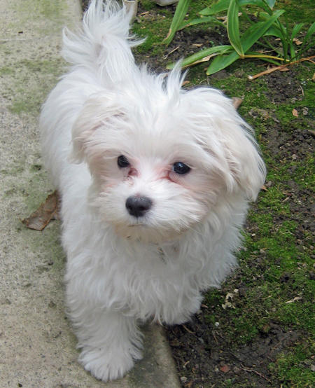 Punkin the Maltese Pictures 315231