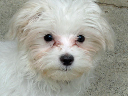 Punkin the Maltese Pictures 315230