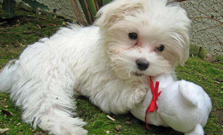 Punkin the Maltese Pictures 315233