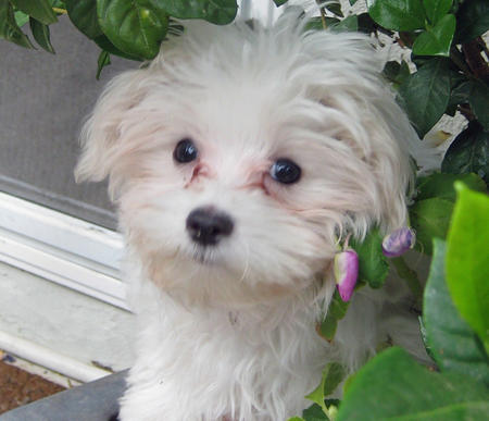 Punkin the Maltese Pictures 315235
