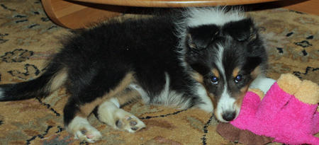 Brooklyn the Shetland Sheepdog Pictures 164974
