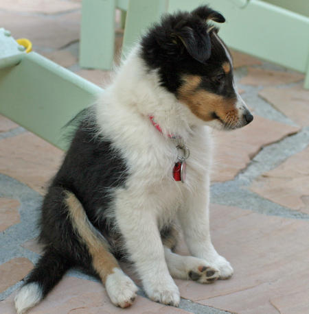 Brooklyn the Shetland Sheepdog Pictures 164969