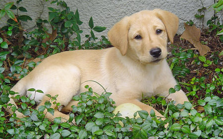 Cooper the Labrador Retriever Pictures 166232
