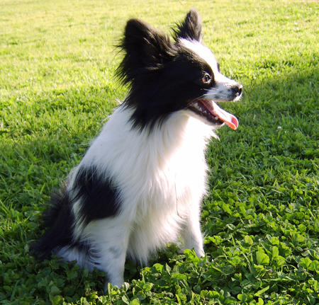 Brinley the Papillon Mix Pictures 168326