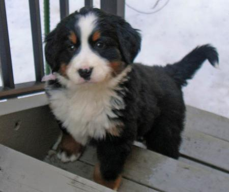 Lucy the Bernese Mountain Dog Pictures 168449