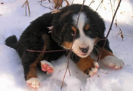 Lucy the Bernese Mountain Dog Pictures 168453