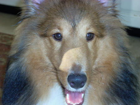 Sophie the Shetland Sheepdog Pictures 170161