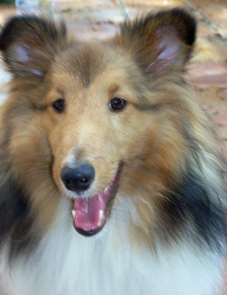 Sophie the Shetland Sheepdog Pictures 170162