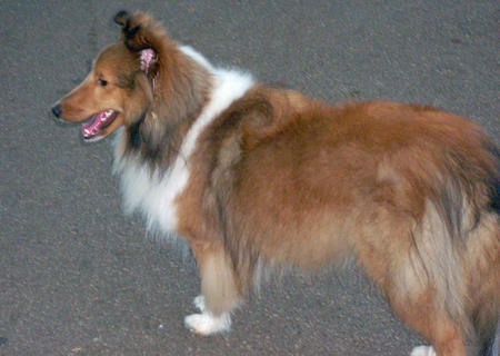 Sophie the Shetland Sheepdog Pictures 170158