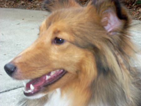 Sophie the Shetland Sheepdog Pictures 170159