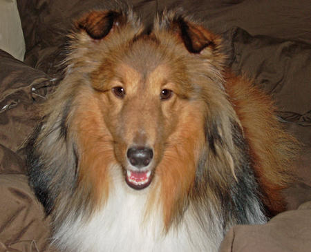 Sophie the Shetland Sheepdog Pictures 170157