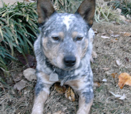Stoney the Australian Cattle Dog Pictures 171065