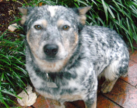 Stoney the Australian Cattle Dog Pictures 171062