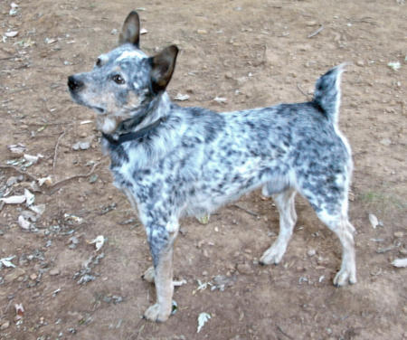 Stoney the Australian Cattle Dog Pictures 171061