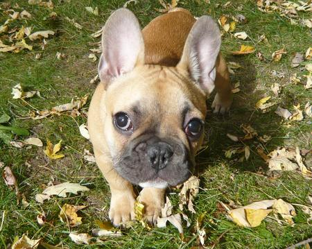 Douglas the French Bulldog Pictures 172234