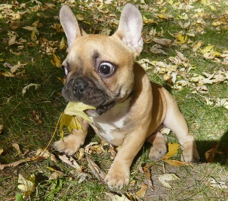Douglas the French Bulldog Pictures 172233