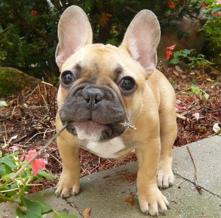 Douglas the French Bulldog Pictures 172231