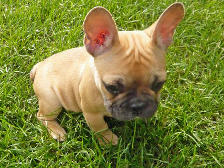 Douglas the French Bulldog Pictures 172230