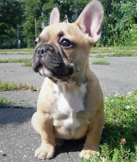 Douglas the French Bulldog Pictures 172245