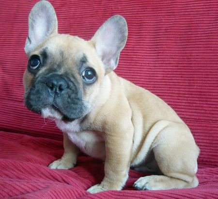 Douglas the French Bulldog Pictures 172229