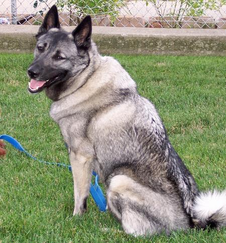 Loki the Norwegian Elkhound Pictures 173882