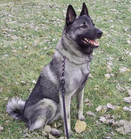 Elkhound Husky Mix