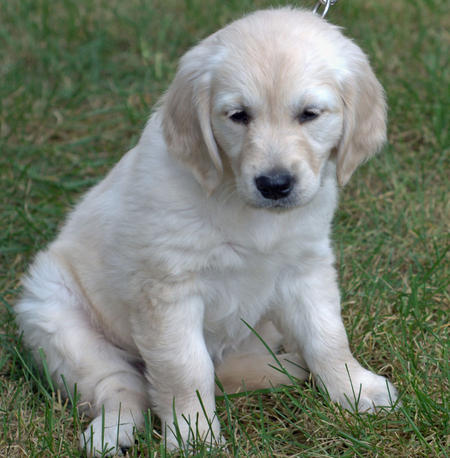 Lily the Golden Retriever Pictures 197988