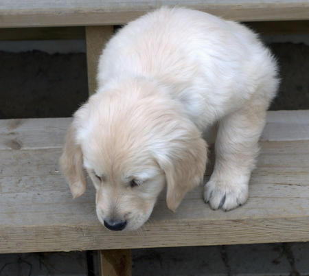Lily the Golden Retriever Pictures 197987
