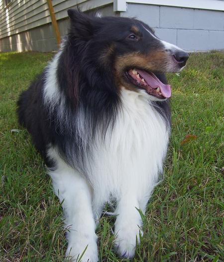 Bandit the Collie Mix Pictures 175326
