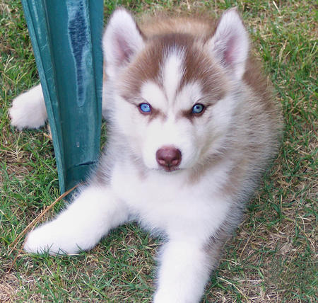Maggie the Siberian Husky  Pictures 176175