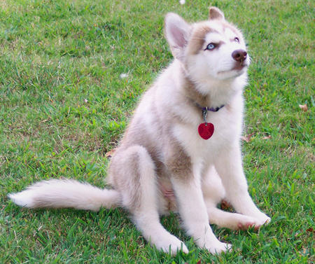Maggie the Siberian Husky  Pictures 176174
