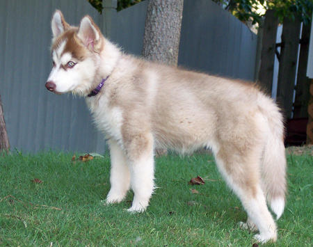 Maggie the Siberian Husky  Pictures 176173