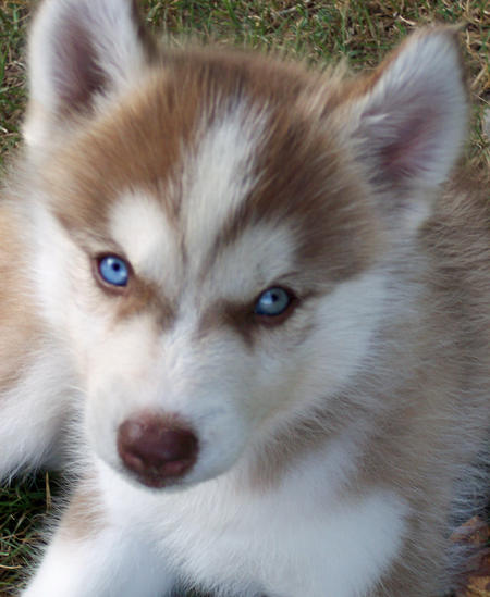 Maggie the Siberian Husky  Pictures 176169