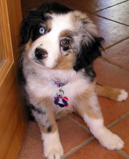 Pepper the Australian Shepherd Pictures 190893